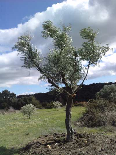 oliviers.jpg - 30,12 kB